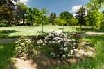 rozkvetlé rododendrony